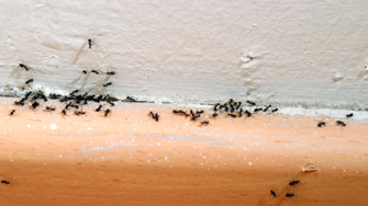 Ants and Flies